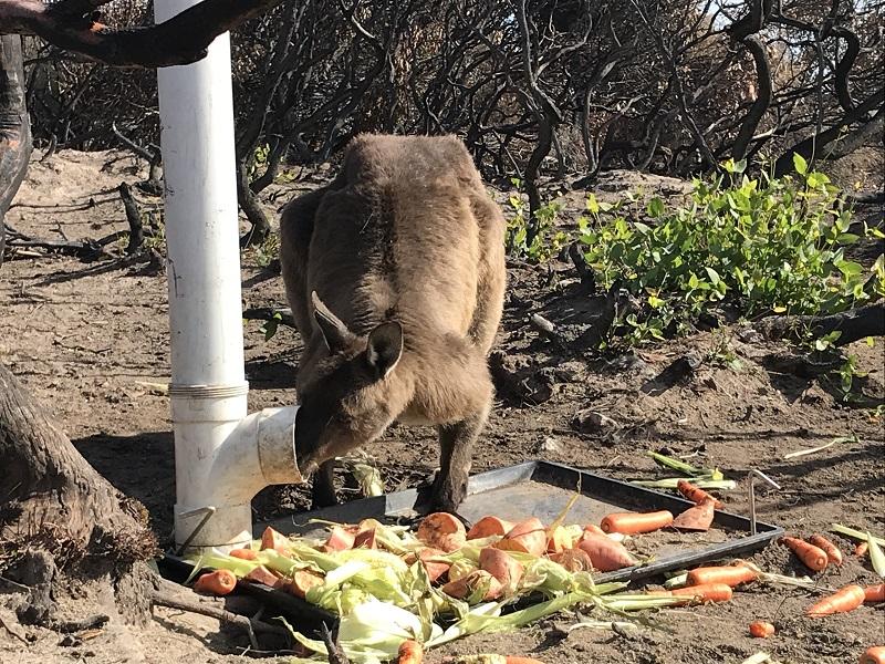 Kangaroo Island Feeding Program Scales Back But Wildlife Won T