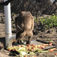 April 2020 animals at RSPCA SA feed stations on KI 2
