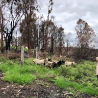 RSPCA Victoria work to help sheep and restore farm equipment